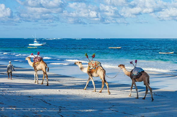 Camels on the Kenya Coast.