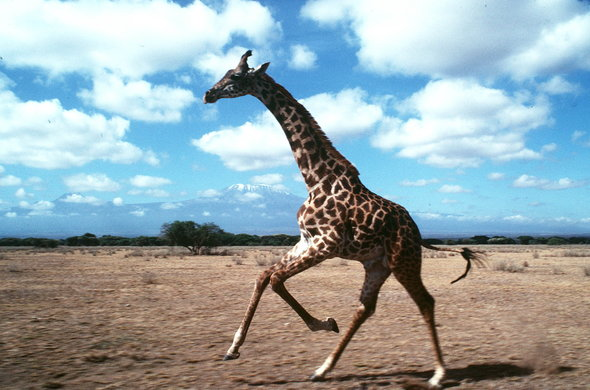 Giraffe are among the wildlife you will see in Amboseli National Park.