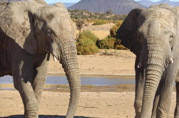 Elephants in Aquila Game Reserve near Cape Town.