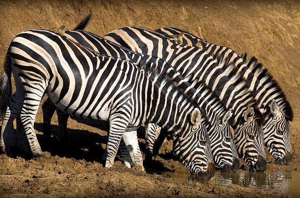 Zebras at the waterhole in the Pilansberg National Park.