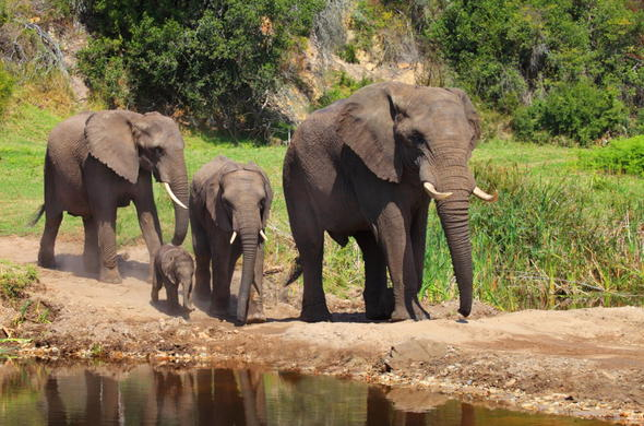 Botlierskop Game Reserve elephant family.
