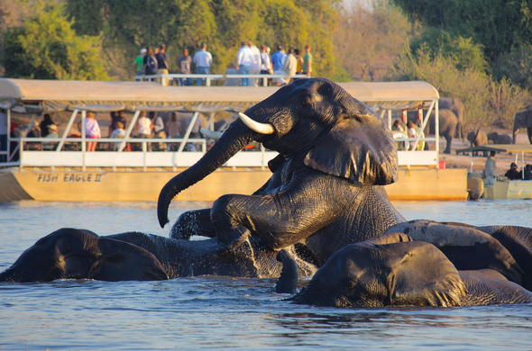 See elephants frolicking in the Chobe River.