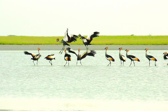 Cranes at Nata Bird Sanctuary