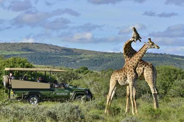 See giraffes on a game drive in Shamwari Game Reserve.