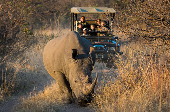 Track rhino on game drives.