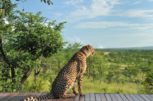 Sylvester, resident cheetah overlooking the bush.
