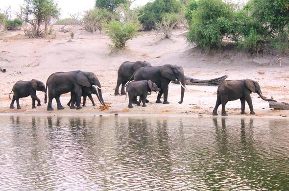 Elephants on the banks of the Chobe River in Botswana.