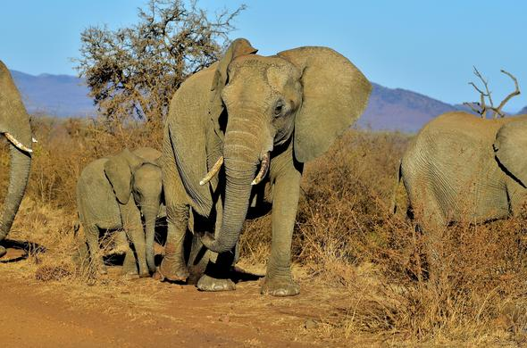 madikwe game reserve south africa game reservesherd of elephants roaming in the madikwe game reserve