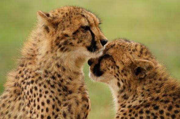 Visit the Emdoneni Cheetah Project and interact with the cats.