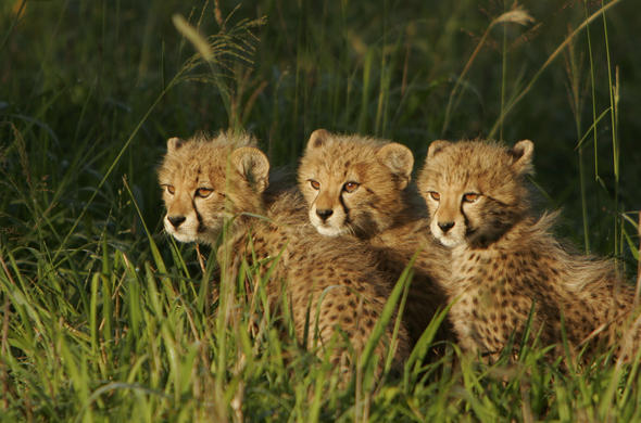 Adorable cheetah cubs spotted in Hluhluwe.