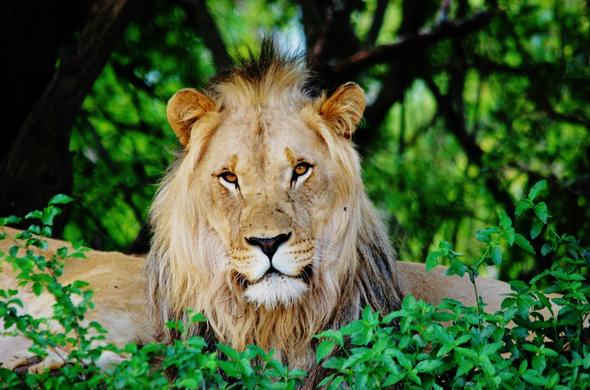 Lion in Entabeni Wildlife Conservancy, Limpopo.