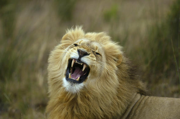 See Lion on a big five safari in the Western Cape.