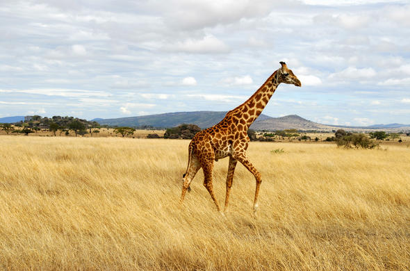 Giraffe on the Masai Mara plains.
