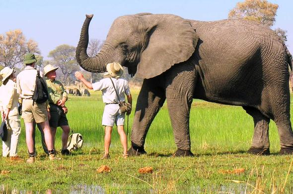 Guests meet Elephant at Stanleys Camp. Botswana