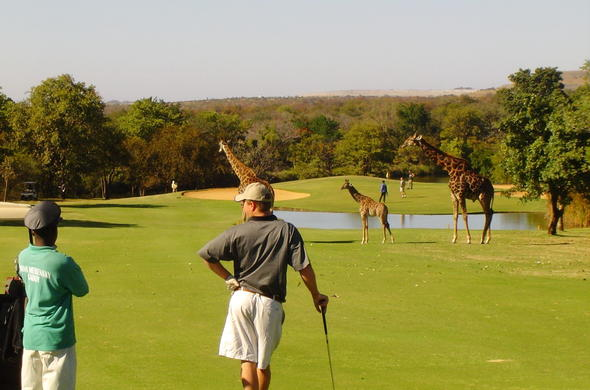 A family of giraffe  walking across the Hans Merensky golf course.