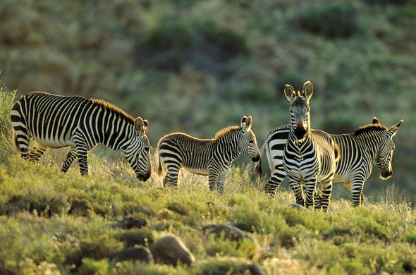 Zebras grazing in the Mountain Zebra National Park.