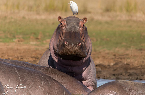 Watch how the hippos interact in the vlei.
