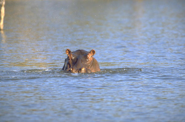 A Hippo in the Zambezi River.