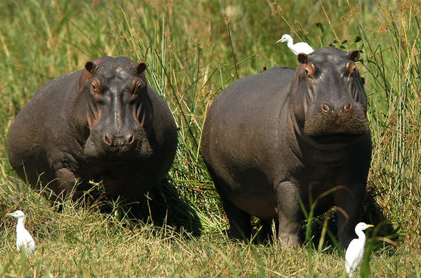 Hippos in Liwonde National Park, Malawi.