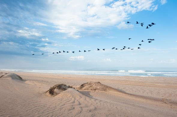 Flock of birds of the Skeleton Coast.