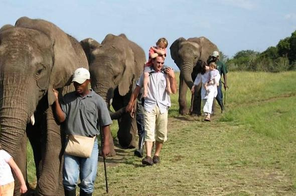 Family walking with elephants at Hog Hollow Country lodge in the Garden Route.