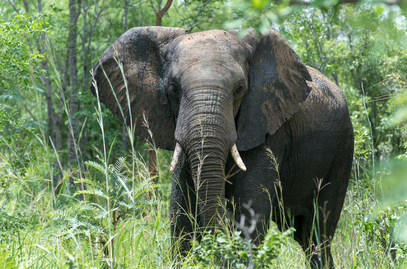 Elephant in Hwange National Park, Zimbabwe.