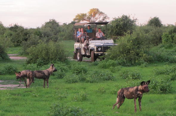 Wild dogs seen on game drive.