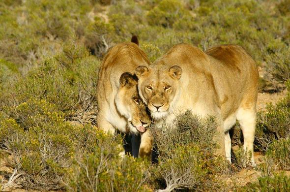 Lions in Inverdoon Game Reserve near Cape Town.