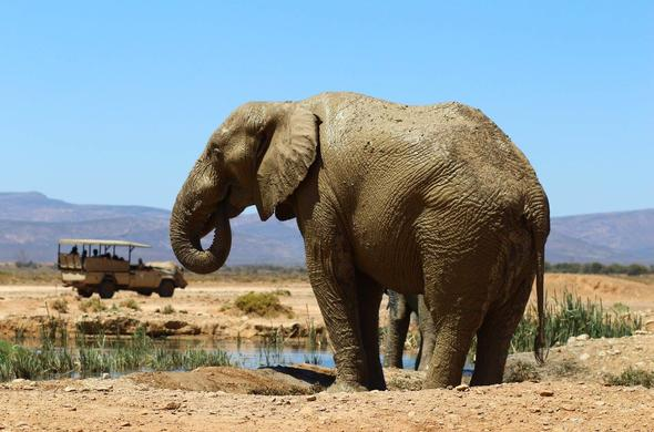 See Elephant on a safari near Cape Town.