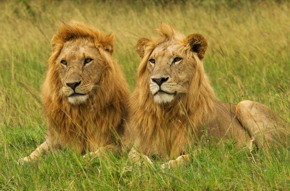 Lions as seen while on safari at Karen Blixen Camp.