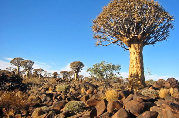 Kokerboom Forest in Namibia.