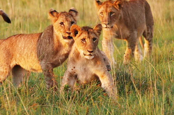 Lalibela Game Reserve lion cubs.
