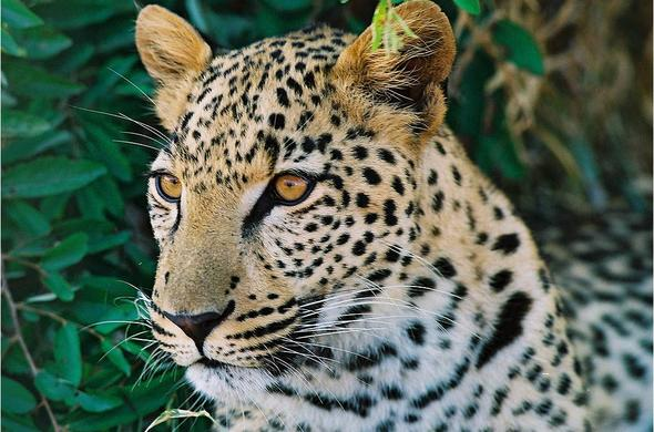 See Leopard when you visit Kruger National Park.