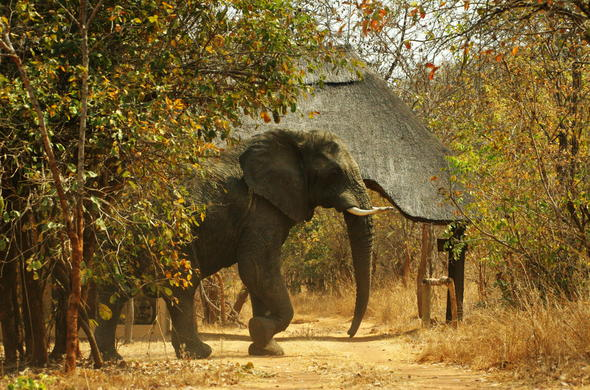 Elephant are among the roamers of Leopard Lodge.