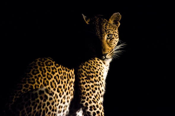 See Leopard on a night game drive at Victoria Falls.