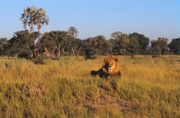 Lion in the Okavango Delta of Botswana.