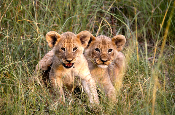 Lion cubs in Waterberg Reserve, Limpopo, South Africa.