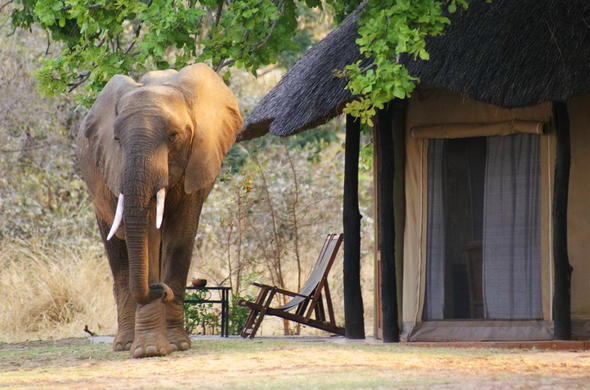 Elephant outside one of the Mchenja Bush Camp chalets.