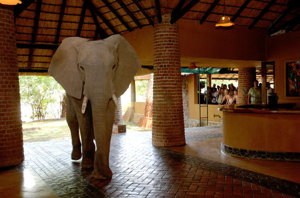 Elephants in the Reception at Mfuwe Lodge.