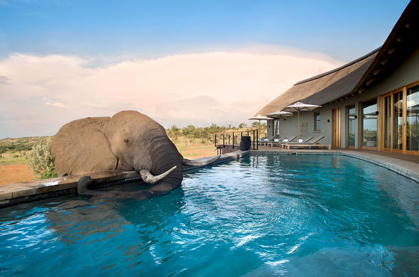Mhondoro Game Lodge elephant at swimming pool.