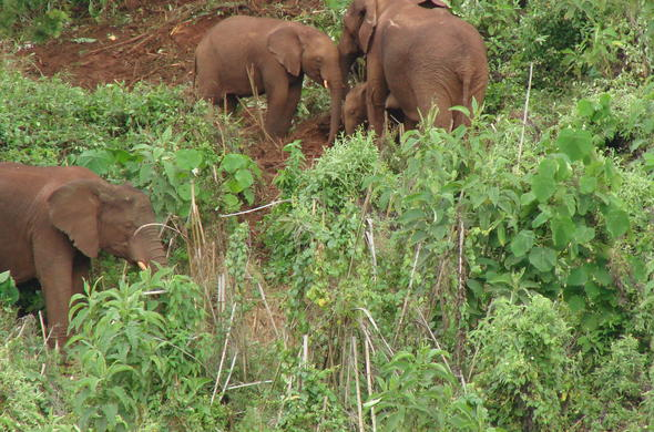 Mount Elgon Elephants.