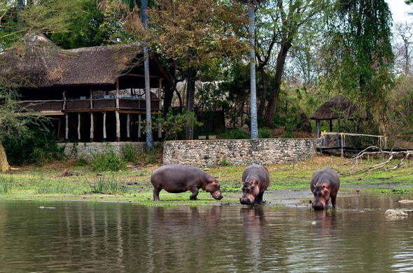 Hippos spoted infront of Mvuu Lodge.