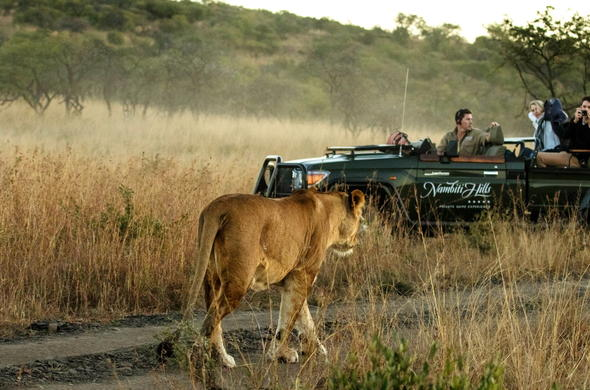 See lion while on a Nambiti Hills Private Game Lodge.