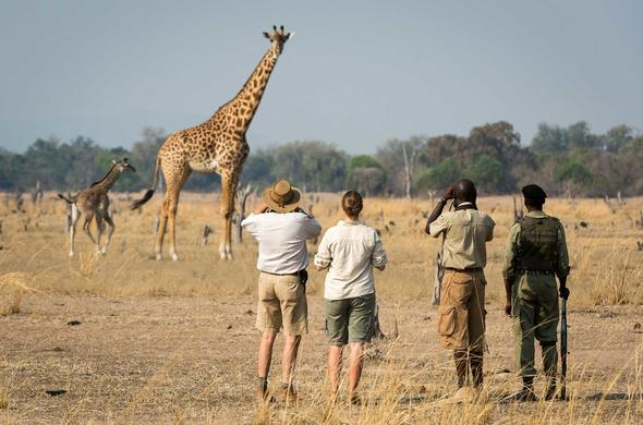 People watching a giraffe while on a Zambia walking safari.