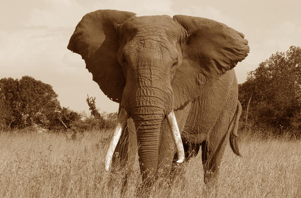 Classic vintage photo of an elephant in Kenya.