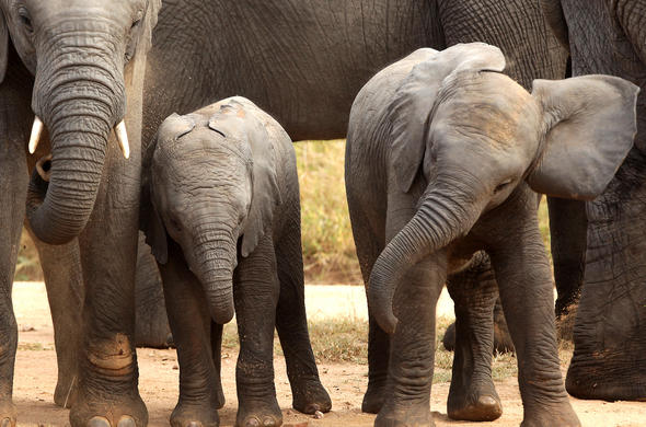 two young elephant calves with their monther in the reserve.