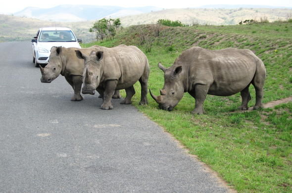See Rhino on a self-drive in Addo Elephant National Park.