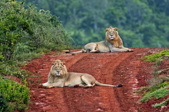 Lions lazing in the road at the lodge in Eastern Cape.