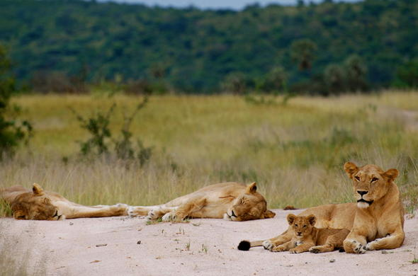 See a variety of free roaming wildlife in the Ruaha National Park.