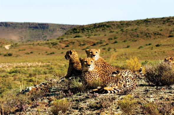 Cheetah in Sanbona Wildlife Reserve.